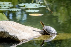 Western painted turtle (chrysemys picta) sitting on rock basking in late morning sun in fresh water pond