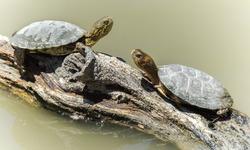 Western Pond Turtles sun bathing on log over a pond. Sunol Regional Park, Alameda County, California, USA.