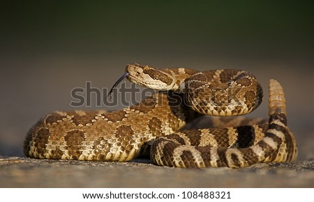 Western Rattlesnake coiled with rattle erect and forked tongue extended
