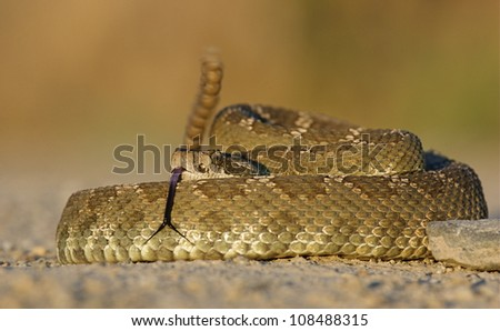 Western Rattlesnake with rattle erect and forked tongue extended