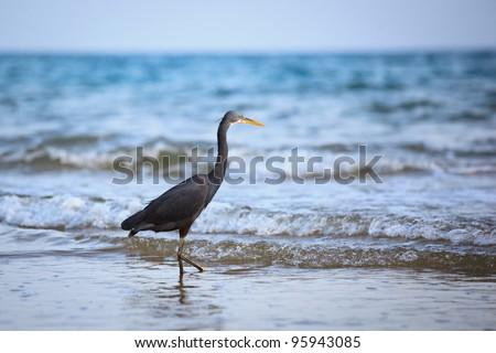Western Reef Heron (Egretta gularis)