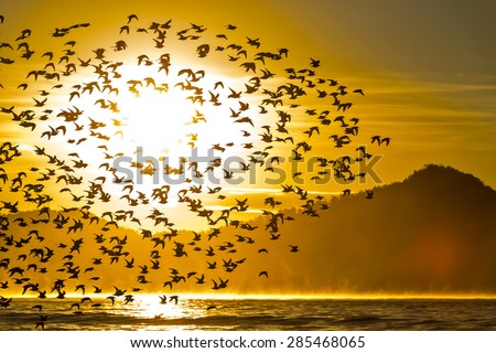 Western Sandpipers silhouetted by flying in front of the sun