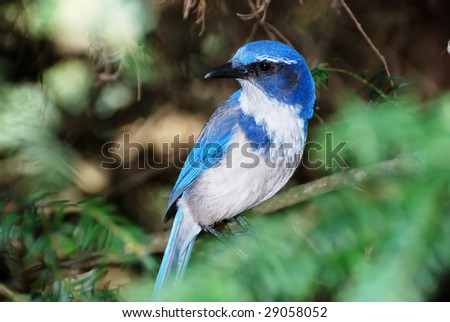 Western scrub jay or aphelocoma californica standing on a tree branch.