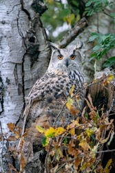 Western Siberian eagle owl (Bubo bubo sibiricus) in birch tree trunk, staring straight at the camera lens with attentive orange and black eyes. Autumn colors in the background.