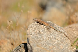 Western Side-blotched Lizard sitting on a rock