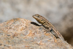 Western Side-blotched Lizard, Uta stansburiana elegans