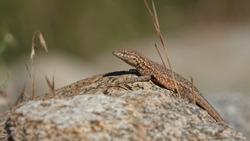 Western Side-Blotched Lizard, Uta stansburiana elegans in its desert habitat, here seen in the Eastern Sierra Nevada.