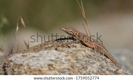 Western Side-Blotched Lizard, Uta stansburiana elegans in its desert habitat, here seen in the Eastern Sierra Nevada.                               Stock fotó ©