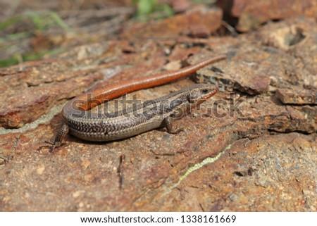 Western Skink, Coronado Subspecies (Plestiodon skiltonianus interparietalis)