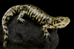 Western tiger salamander (Ambystoma mavortium diaboli)