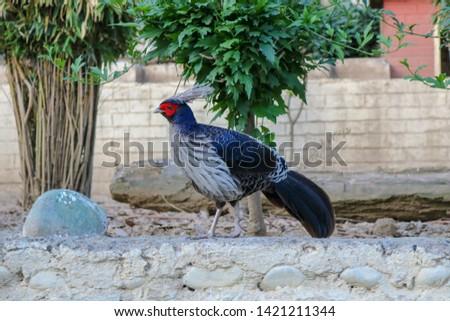 Western Tragopan highly endangered species at Himalayan Bird Park, Shimla, India