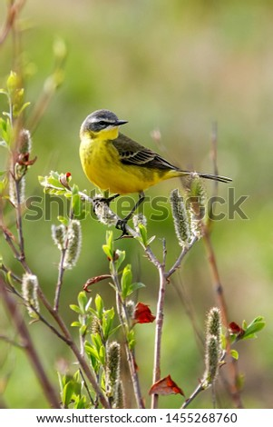 Western yellow wagtail (Motacilla flava). A small yellow bird sits on a twig. On the twigs buds and young leaves. Spring season in the Arctic (June). Wildlife and birds of Chukotka. Good spring mood. #1455268760