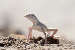 Western zebra-tailed lizard (Callisaurus draconoides) in Death Valley National Park, California, USA