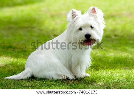 Westie dog on the green grass