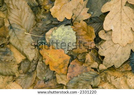 Wet autumnal leaves laying on ground,late autumn