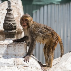 Wet baby monkey sitting on buddhist stupa at Swayambhunath temple also called Monkey temple in Kathmandu, Nepal. Stock photo.