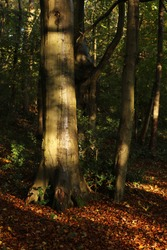 Wet beech tree trunks in an English woodland landscape, the Lake District