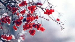 Wet berries of viburnum in winter during the thaw on a blurred background