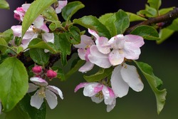 Wet branch of a blooming Apple tree.There are drops of water on the petals.