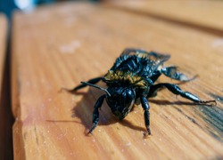 Wet bumblebee rescued from water. Saved bumblebee from pool. After 15 minutes he dry out and flew away. Photo of rescued insect from water. Close up or macro photography of bumble bee on wooden table.