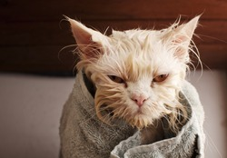Wet cat after a bath, wrapped in a towel
