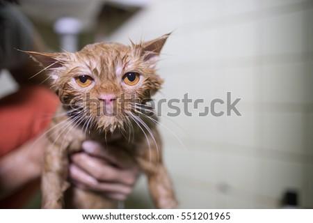 Wet cat after a shower or a bath