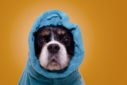 Wet cavalier king Charles spaniel dog with huge brown eyes wrapped in blue cotton towel after having bath. Studio background