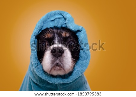 Wet cavalier king Charles spaniel dog with huge brown eyes wrapped in blue cotton towel after having bath. Studio background Photo stock ©