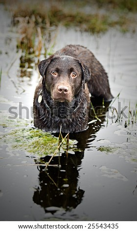 Wet Chocolate Labrador Standing in Stream