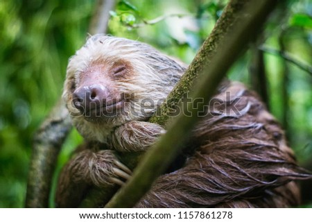 Wet Costa Rican Sloth (Choleopus hoffmanni) smiles with eyes closed in the rainforest in Punta Uva, Limon, Costa Rica