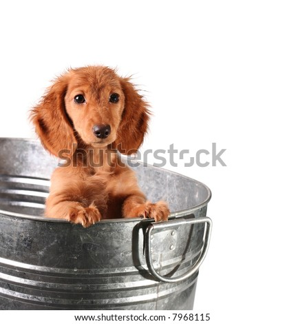Wet dachshund puppy in a bucket