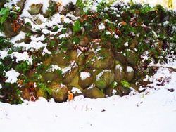 Wet dark brown round big rock hand made arranging stacked wall covered with green fern and ivy plant, fresh white snow ground in the front, dry yellow fallen leaves