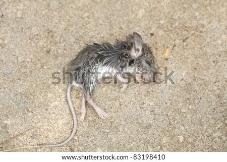 Wet Dead Mouse  Rodent Mus musculus