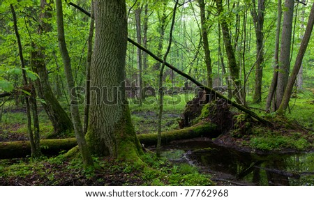 Wet deciduous stand of Bialowieza Forest with standing water in foreground and ash trees moss wrapped in background