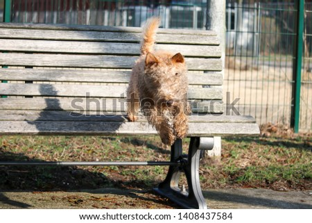 wet, dirty dog jumping from the bench, Lakeland Terrier #1408437584