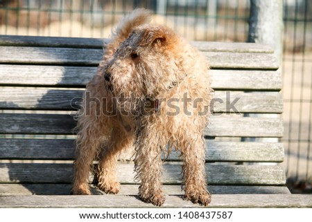wet, dirty dog jumping from the bench, Lakeland Terrier #1408437587