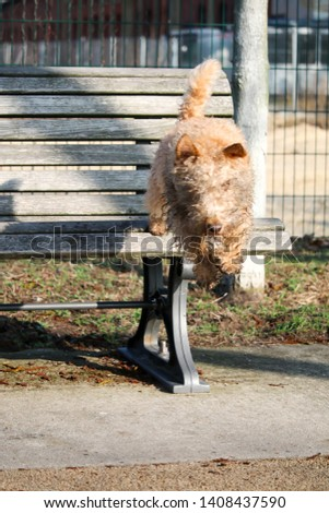 wet, dirty dog jumping from the bench, Lakeland Terrier #1408437590