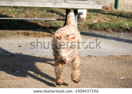 wet, dirty dog jumping from the bench, Lakeland Terrier #1408437596