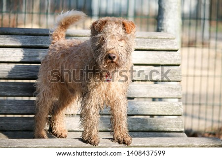 wet, dirty dog jumping from the bench, Lakeland Terrier #1408437599