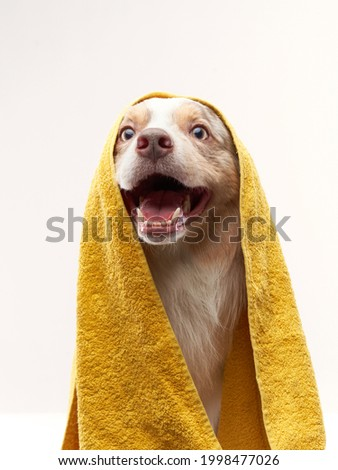 wet dog after shower. Border collie in a yellow towel. Pet wash, grooming Foto stock ©