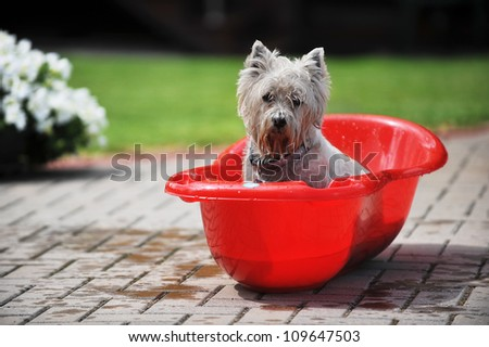 wet  dog in baby bathtub. process of bathing