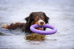Wet dog in the water with a toy