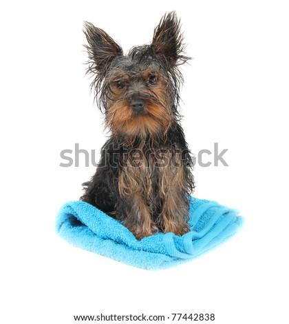 Wet dog on blue towel