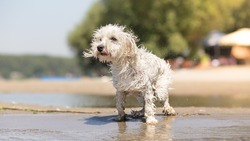 Wet dog on the beach shaking of water