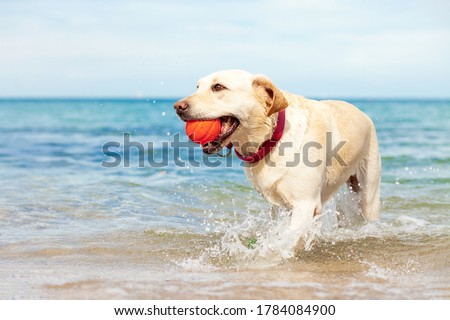 wet dog playing in the sea with a ball in summer, golden retriever resting on the beach, travel concept, pets in nature ストックフォト ©