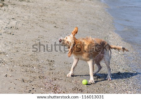 Wet dog shaking head on the beach