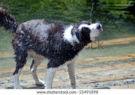 Wet dog shaking off after a swim in the river at a dog park. Both drool and water are flying off of this black and white dog on a hot summer day.