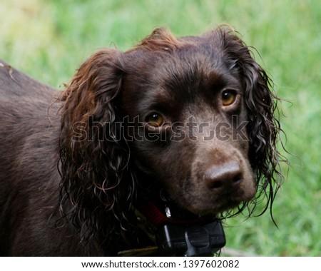 Wet Eared English Cocker Spaniel #1397602082