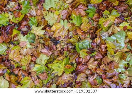 Wet fallen autumn leaves on a forest floor Stockfoto ©