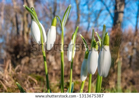 Wet first flowers as snowdrops in early Spring morning at forest in Germany